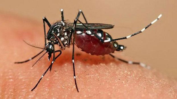ຕົວຢ່າງ ຂອງຍຸງລາຍ ໂຕແມ່ (Aedes aegypti mosquito) ທີ່ນໍາເຊື້ອພຍາດ ໄຂ້ເລືອດອອກ ຫຼືໄຂ້ຍຸງລາຍ ແພ່ຣະບາດ ໃສ່ຜູ້ຄົນ.